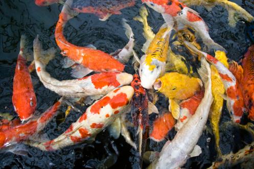 ภาพปลาคาร์ฟ