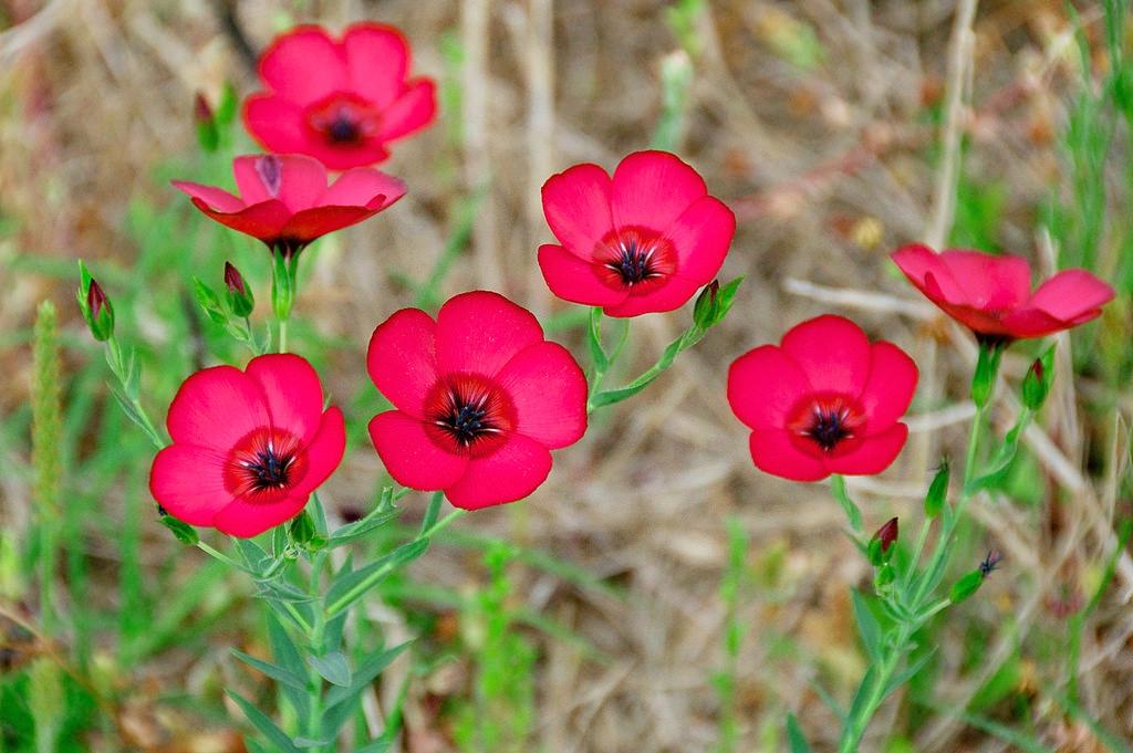 500 RED SCARLET FLAX Linum Grandiflorum Flower Seeds