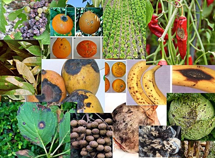 โรคของพืช,โรคพืชที่เกิดจากเชื้อรา,โรคพืชที่เกิดจากเชื้อแบคทีเรีย,โรคพืชที่เกิดจากเชื้อไวรัส,โรคพืชคือ,โรคพืชผัก,ชื่อโรคพืช,สารป้องกันและกำจัดโรคพืช,การกำจัดเชื้อราในพืช,การป้องกันกำจัดเชื้อรา,สารชีวภาพกำจัดโรคพืช,สารกำจัดเชื้อราในพืช,สารชีวภาพป้องกันกำจัดเชื้อราและแบคทีเรีย,ไตรโคเดอร์มา,4สหาย,สวนเกษตรผสมผสาน