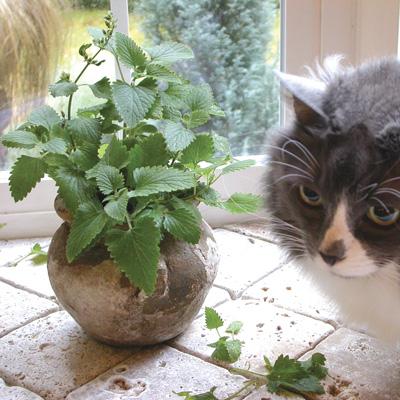 Catnip (กัญชาแมว)