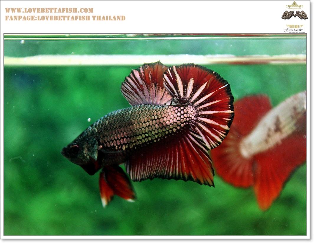 คัดเกรดปลากัดครีบสั้น-Halfmoon Plakat Copper Quality Grade