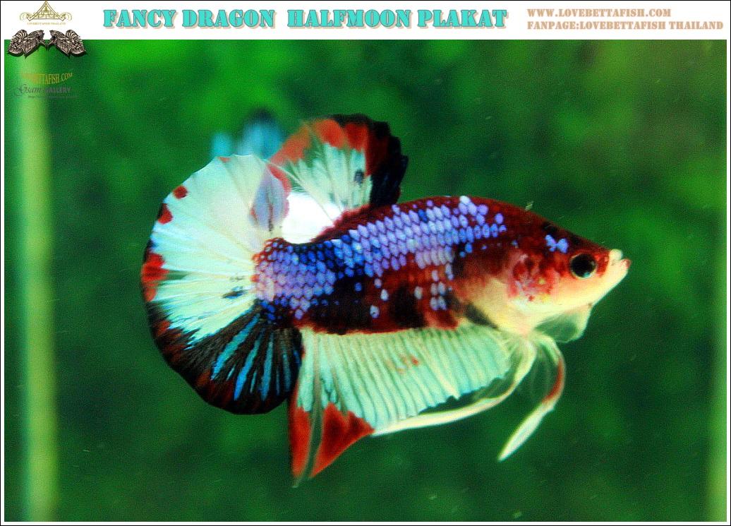 """(ขายแล้วครับ)""""คัดเกรดประกวด""""ปลากัดครีบสั้น-Halfmoon Plakats Fancy Dragon Koi Quality Grade"""