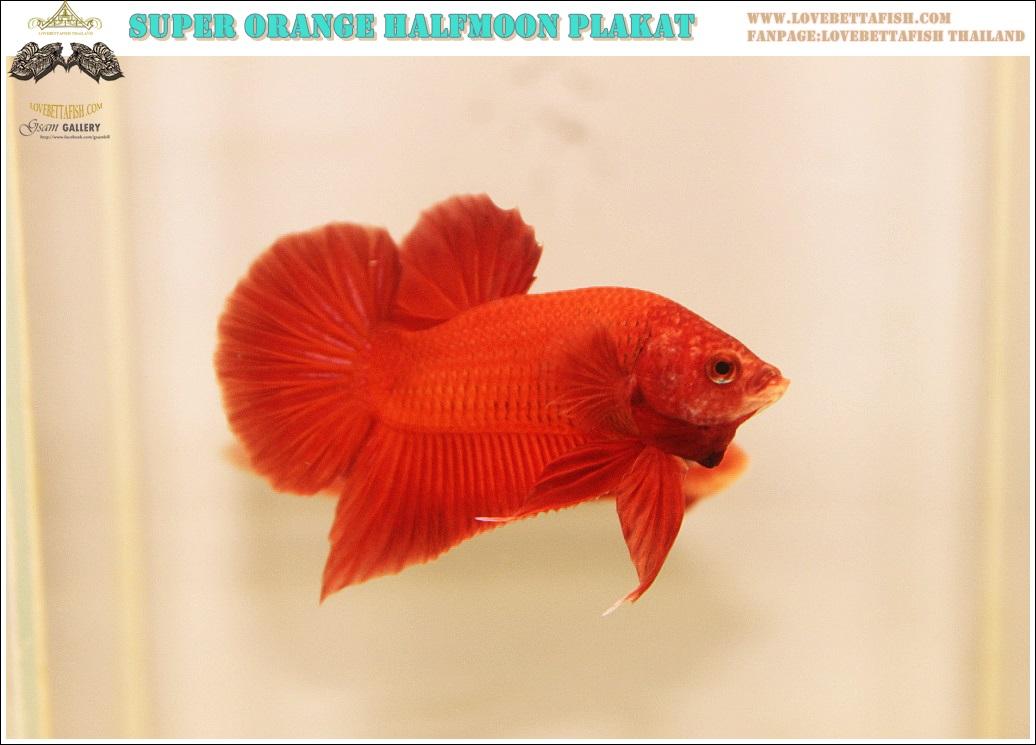 """(ขายแล้วครับ)""""คัดเกรด""""ปลากัดครีบสั้น-Halfmoon Plakats Super Orange Quality Grade"""
