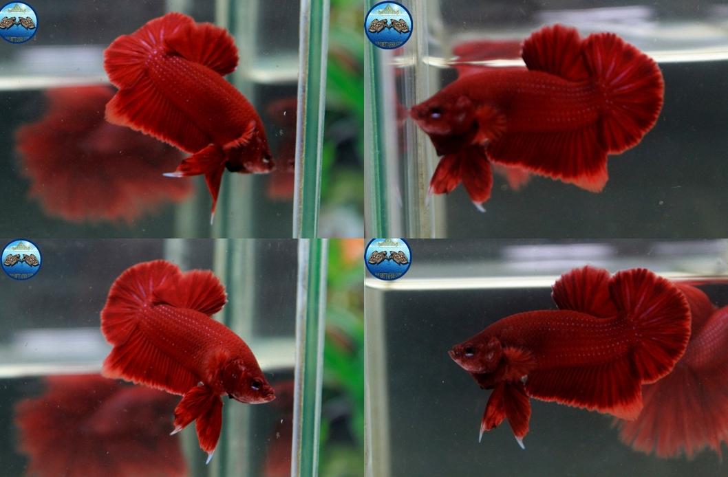"""(ขายแล้วครับ)Super red """"คัดเกรด""""ปลากัดครีบสั้น-Halfmoon Plakats"""