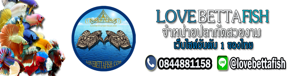 LoveBettaFish.com - ขายจำหน่ายปลากัดไทย สำหรับคนรักปลาสวยงาม