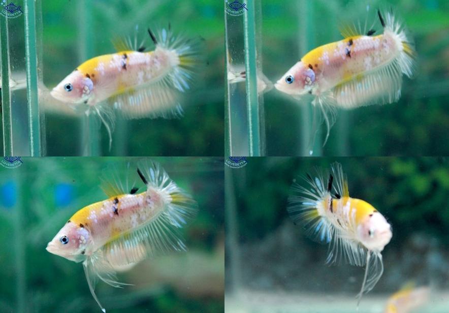 """(ขายแล้วครับ)""""คัดเกรด""""ปลากัดครีบสั้น-Halfmoon Plakats Fancy Yellow Koi"""