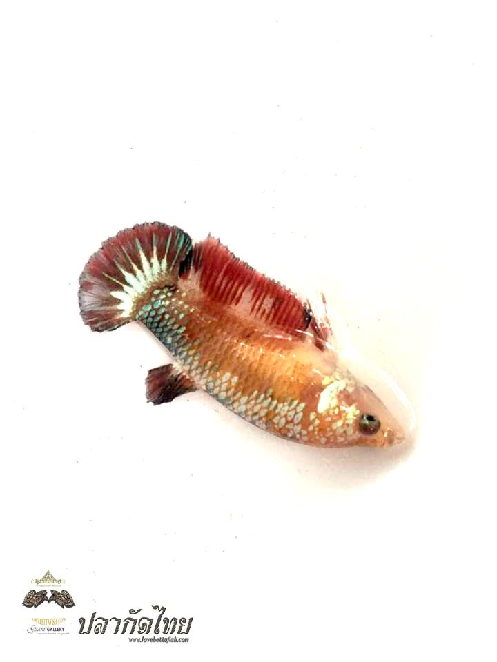 ปลากัดคัดเกรดครีบสั้นตัวเมีย - Female Halfmoon Plakad FancyDragon Quality Grade AAA+