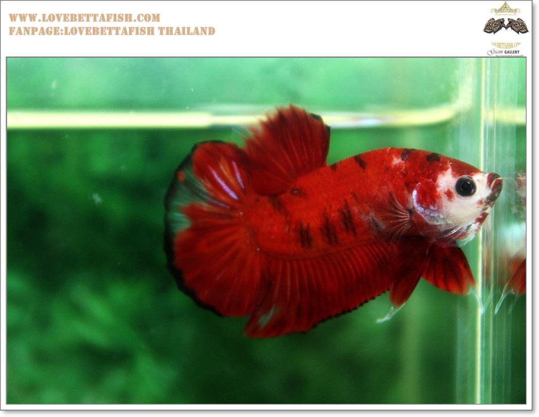 คัดเกรดปลากัดครีบสั้น-Halfmoon Plakat Red Koi Quality Grade