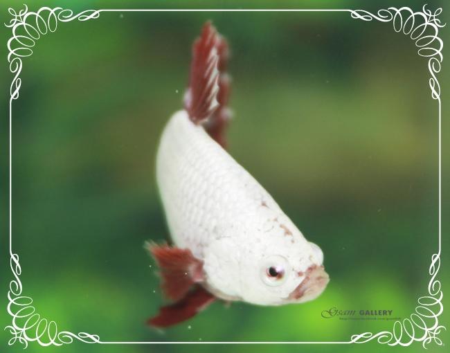 """(ขายแล้วครับ)""""คัดเกรด""""ปลากัดครีบสั้นเทพมากๆสวยแบบเนียนลงตัว-Halfmoon Plakats Red Dragon2"""