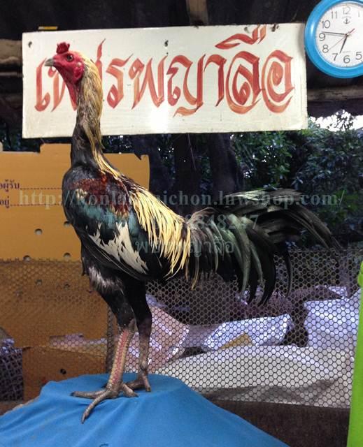 เจ้าสินเจริญทรัพย์ 122 ไก่ชนพม่าแข้งโหด
