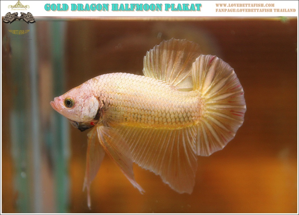 """(ขายแล้วครับ)""""คัดเกรด""""ปลากัดครีบสั้น-Halfmoon Plakats Gold Dragon Grade A"""