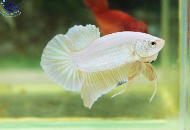 """""""คัดเกรด""""ปลากัดครีบสั้น-Halfmoon Plakats GoldDragon02"""