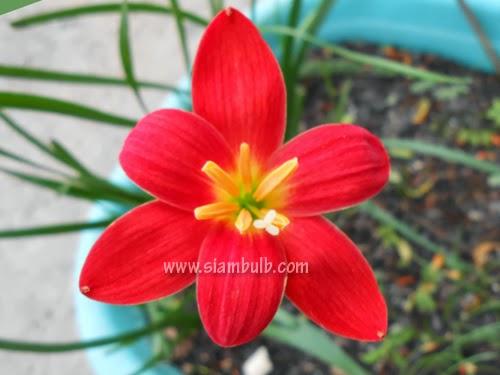zephyranthes pride of singapore