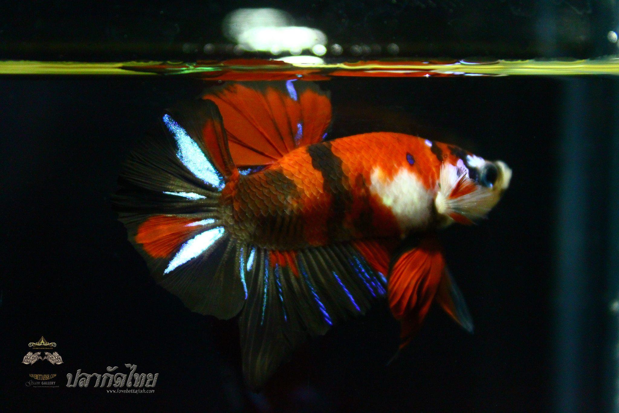 ปลากัดคัดเกรดครีบสั้น - Halfmoon Plakad Koi Black Red Premium Quality Grade