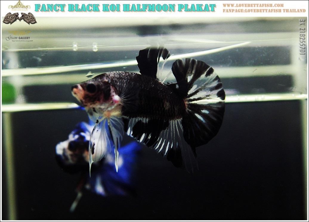 """(จองประเทศมาเลเซีย)""""คัดเกรด""""ปลากัดครีบสั้น-Halfmoon Plakats Black Koi"""