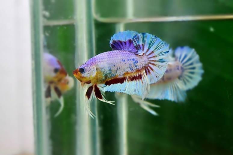 คัดเกรดปลากัดครีบสั้น-Halfmoon Plakat Fancy Dragon Lavender Quality Grade