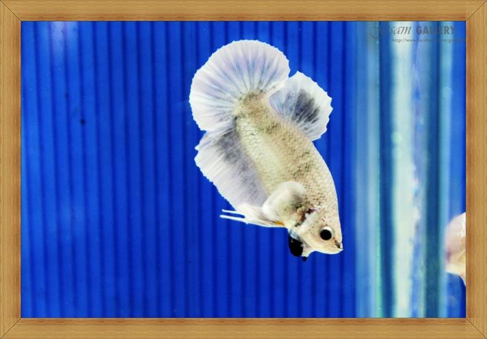 ปลากัดครีบสั้น - Halfmoon Plakats Fancy