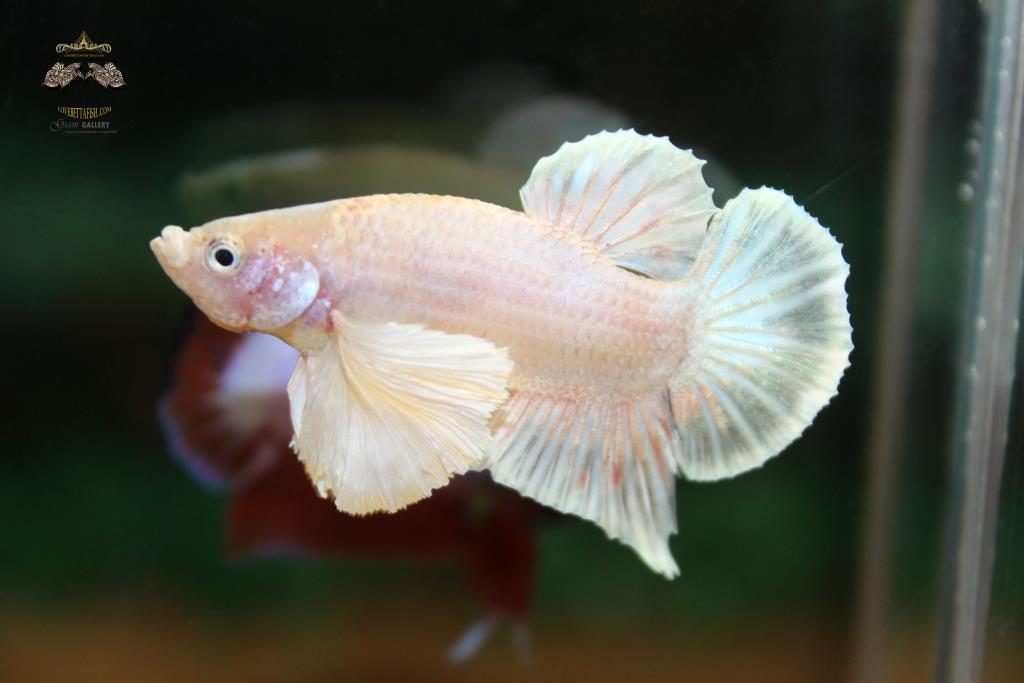 ปลากัดคัดเกรดหูช้างครีบสั้น - BigEar Lavender Halfmoon Plakad White BigEar Quality Grade