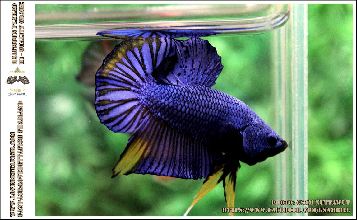 คัดเกรดปลากัดครีบสั้น-Halfmoon Plakad Fancy Blue Mastrad