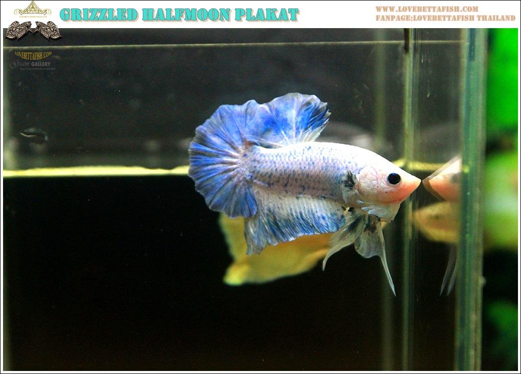 """(ขายแล้วครับ)ทีเด็ด""""คัดเกรด""""ปลากัดครีบสั้น-Halfmoon Plakats Fancy Grizzled"""
