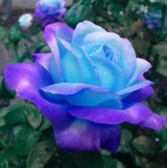กุหลาบ ดอกสีฟ้า-ชมพู แพ็ค 10 เม็ด